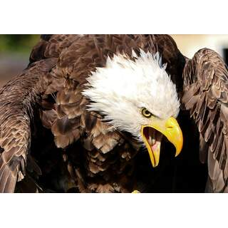 Eagle Close Up