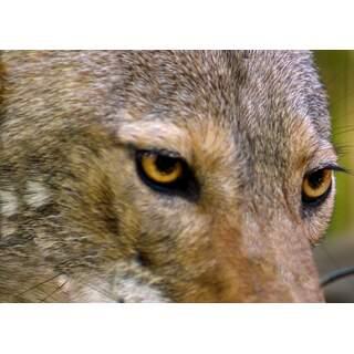 Wolf-01