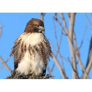 Hawk-04