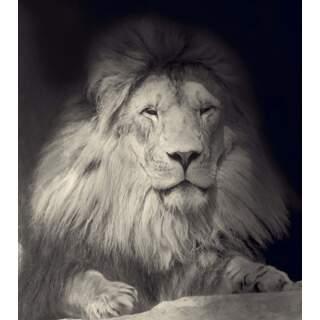 Lion-01-da